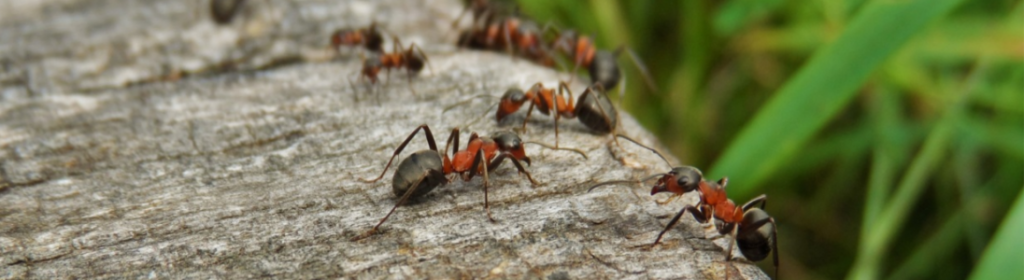 Service Area - Landscape Pest Control - YardDoc - Georgetown, TX - Ants on a log