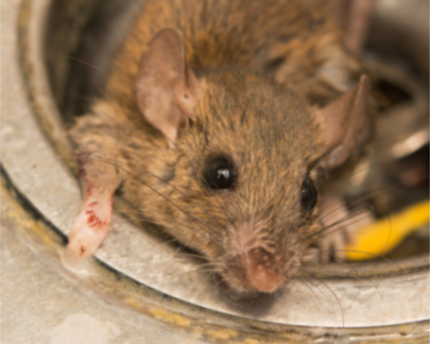 Rat Exterminator - YardDoc - Austin, TX - Rat in sink drain