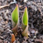 Austin Tx Landscaping Services - Lawn Care - Tulip Coming Through Soil - YardDoc