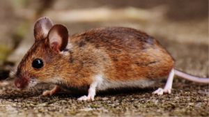 Pest Control - YardDoc - Travis County, TX - Deer Mouse