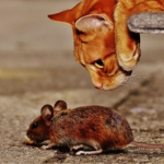 Pest Control - YardDoc - Austin, TX - Yellow cat looking at deer mouse
