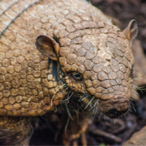 Critter Control - YardDoc - Austin, TX - Armadillo up close brown