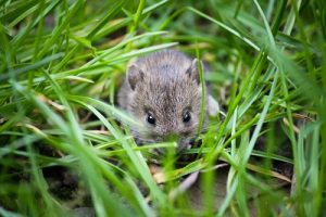 House Mouse in Grass - Pest Control Leander TX - YardDoc 300x200