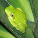Organic Pest Control - YardDoc - Austin, TX - Green toad on leaf