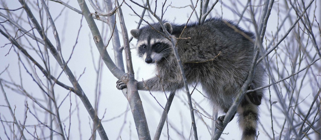 Pest Control - YardDoc - Austin, TX - Urban wildlife Raccoon in a tree