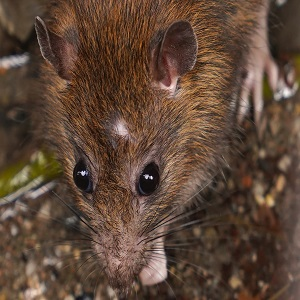 Rodent Control - Austin TX - Norway Rat, Sewer Rat, Brown Rat - How to Get Rid of Rats - YardDoc Pest Control Services