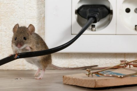 Critter Removal - YardDoc - Austin, TX - Mouse on counter with wiring mousetrap cheese
