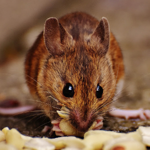 Pest Control Critter Removal - YardDoc - Austin, TX - Hearing critters in the house - Brown mouse