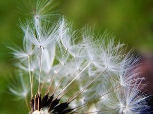 Weed Control Service - YardDoc - Austin, TX - Weed Seeds from Dandelion