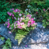 Pool Landscaping - YardDoc - Austin, TX - Pink flowers and ferns