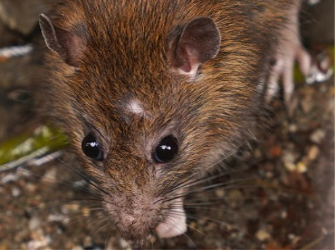 Rodent Control - Austin, TX - YardDoc - Norway Rat Sewer Rat Brown Rat Get Rid of Rats