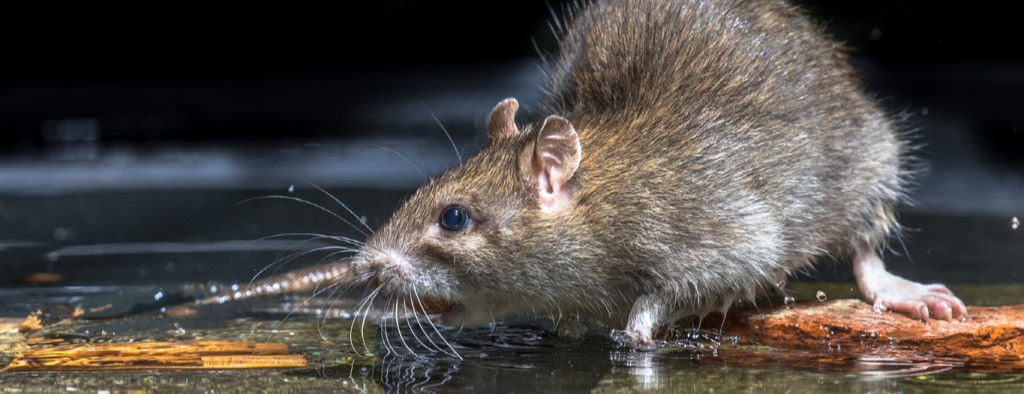 Rodent Control - Get Rid of Rats and Mice - YardDoc Organic Pest Control