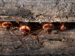 Cockroaches - Austin, TX - Roaches in Wood Space - YardDoc
