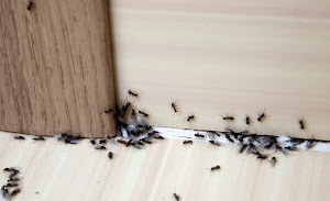 Ant Control - Black House Ants Crawling on Floor and Wall - YardDoc