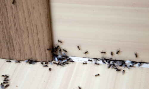 Ants in the house - Pest Control Austin TX - YardDoc