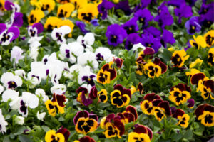 Winter Flowers for Texas Homeowners - Pansies in the Backyard - YardDoc 600x400
